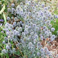 Amethyst sea holly