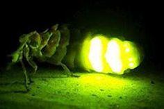 ¿Quieres saber por qué brillan las luciérnagas? ¡Te lo contamos!