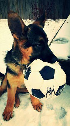Bruno German Shepherd #puppy :)