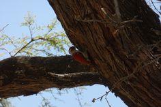 MORROPÓN. Carpintero de dorso escarlata (Veniliornis callonotus) (2)