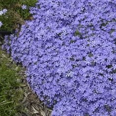 Awesome flower color in the spring!   Phlox 'Violet Pinwheels' is loaded with color, loves full sun, attracts butterflies and is easy to grow.  NEW for 2018!  https://loom.ly/UeEpfRs