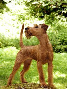 Irish Terrier vom Fachmann getrimmt