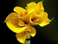 Yellow Calla Lilies | Recent Photos The Commons Getty Collection Galleries World Map App ...