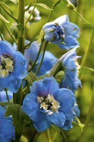 Delphinium Color Azul Garden Whimsy, Blue Garden, Colorful Garden, Little Flowers, Blue Flowers, Beautiful Flowers, Blue Delphinium, Delphiniums, Delphine
