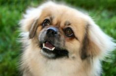 Tibetan Spaniel - Is there a more soulful face anywhere than a Tibbie's?  I heart them!