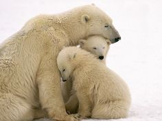 mama polar bear with cubs picture | ... Animals Polar Bear Mother and Cubs Cuddling – ALAFOTO WALLPAPERS