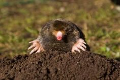 Maulwürfe sind ein Zeichen für gesunden Boden.