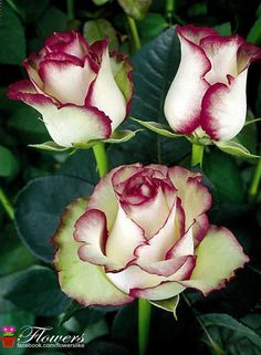 1000 images about roses on pinterest hybrid tea roses. Black Bedroom Furniture Sets. Home Design Ideas