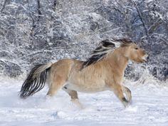 ArtArtistsArtists by NameW Carol Walker Norwegian Fjord Mare Running in Snow, Berthoud, Colorado, USA By: Carol Walker Item #: 5263701
