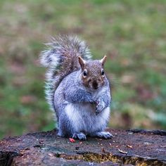 Close-up of a grey squirrel on a tree stump. Enjoy my other images of nature in full size by clicking on the thumbnail.  They are also available to buy in a variety for formats or as a digital download without the watermark. #greysquirrel #liverpool