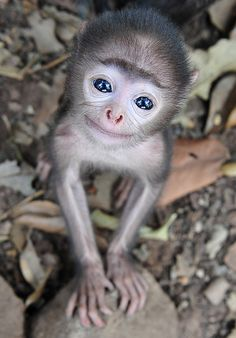 Wild monkey in Bhubaneswar, India.