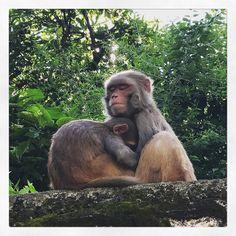 Nap time  #travel #traveler #solotraveler#vegantravel #vegantraveler #vegan #nepal #kathmandu #photographer #peace #namaste #buddha #festival #explore #fun#exciting #goodtobeback #love #spiritual #animal #monkey
