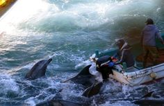 Links Between the Dolphin Slaughter in Taiji and the Faroe Islands
