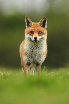 beautiful-wildlife:  FoxbyPeter Kralik