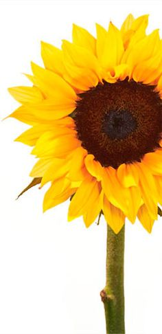 """""""[SUNFLOWER's] open faces symbolize the sun itself, conveying warmth and happiness, adoration and longevity."""""""