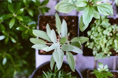 Would you like a way to grow herbs that you can enjoy all winter long? Here's a step-by-step guide to help you grow culinary herbs indoors! Diy Herb Garden, Vegetable Garden, Box Garden, Garden Club, Gardening For Beginners, Gardening Tips, Culture D'herbes, Cooking With Fresh Herbs, Small Herb Gardens