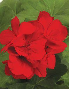 Boldly™ Dark Red - Geranium - Pelargonium interspecific