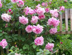 foto de 'Bewitched' Hybrid Tea rose Smells amazing 2nd best