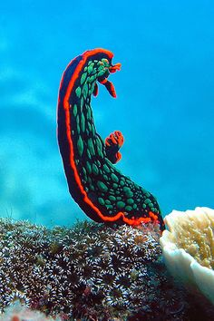 (Nembrotha kubaryana) Nembrotha kubaryana, also known as the variable neon slug or the dusky nembrotha, is a species of colorful sea slug, a dorid nudibranch, a marine gastropod mollusk in the family Polyceridae. Underwater Creatures, Underwater Life, Ocean Creatures, Beautiful Sea Creatures, Life Under The Sea, Beneath The Sea, Sea Slug, Water Animals, Beautiful Ocean