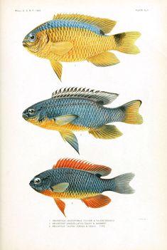 Animal - Fish - Samoa  (6)
