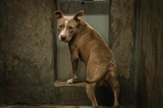ADOPTED --- Staffordshire Terrier female 2-3 years old Kennel A35 Available NOW**** $51 to adopt  GORGEOUS!!! Looks like she just had puppies or has been used for breeding her whole life!   Located at Odessa, Texas Animal Control. https://www.facebook.com/speakingupforthosewhocant/photos/pb.248355401855372.-2207520000.1411779673./847803731910533/?type=3&theater