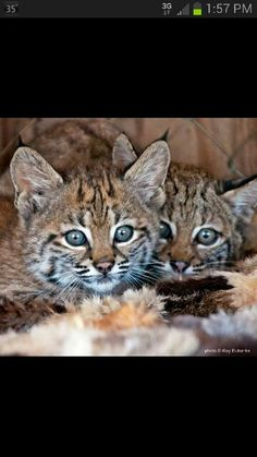First time bobcats