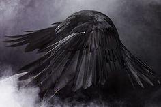 amazing pictures of Ravens  #raven #magic #pagan #heathen
