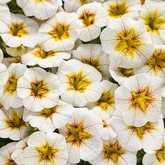 """Superbells® Frostfire boasts a novel new pattern for the Superbells collection with yellow bursts outlined with a red accent. Its mounding habit will be beautiful in a mixed patio container. Look for a height of 6-10"""", with an 8-10"""" spread."""