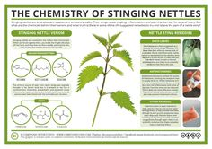 Doubtless the majority of people reading this will, at some point in their life, have had the unpleasant experience of being stung by stinging nettles. But what chemicals do stinging nettles contai...