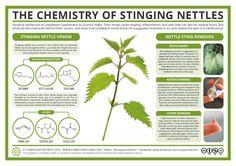 Understanding the Chemistry of Wild Food Stinging Nettles Homesteading  - The Homestead Survival .Com