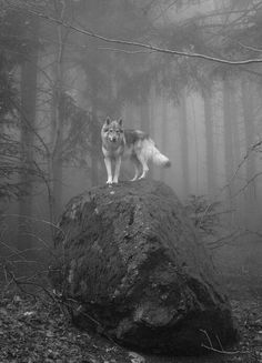 Photo of wolf in black and white | Tumblr