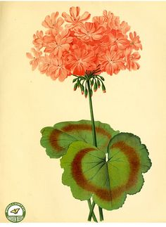 Garden geranium. The garden. An illustrated weekly journal of horticulture in all its branches [ed. William Robinson], vol. 11- (1877)