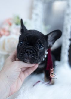 French Bulldog Puppy #602 | Teacup Puppies & Boutique Lilac French Bulldog, Miniature French Bulldog, Mini French Bulldogs, Merle French Bulldog, Blue French Bulldog Puppies, French Bulldog For Sale, Dapple Dachshund Miniature, Mini Dachshund, Dachshund Puppies