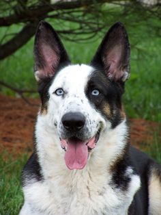 "Frankie is a purebred ""panda shepherd"" ...........click here to find out more http://googydog.com"