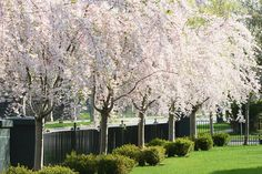 Blossoms, blossoms, blossoms. Real show stoppers!