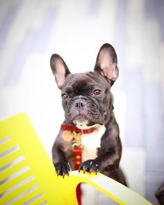 What do you mean the weekend is over?  by olivethefancyfrenchie