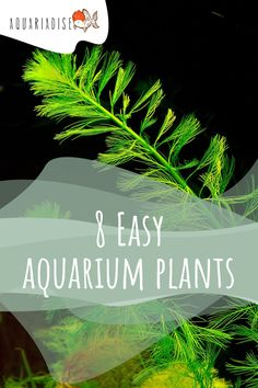 It doesn't matter whether you're a beginner without much experience when it comes to planted tanks or an expert who's looking for green without having to worry about dying plants and CO2 installations – everyone needs hardy, easy to care for plants sometimes. They are decorative, remove nitrates from the water and provide fish with a place to hide.