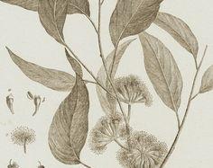1793 grande antiguo botánico grabado, eucalipto, hojas, flores, árbol, Panckoucke. Botánica de Lamarck.