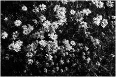 chamomile • yama-bato