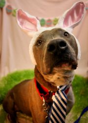 Block is an adoptable Pit Bull Terrier Dog in Jersey City, NJ. My name is Block and I am a handsome, rugged chap with a heart of gold! While I'm personable with everyone, my personality really blossom...