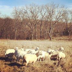 Sweetlove Farm #sheep on a beautiful Saturday morning. Sweetlove Farm Jefferson County, KS