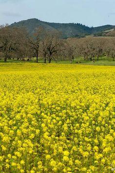 Field of yellow mustard flowers