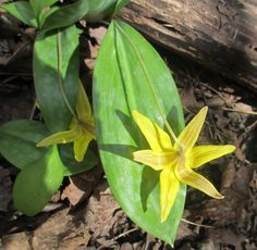 Saw this beautiful wildflower in an Ontario forest in May. Trout Lily, Woodland Plants, Gardening Books, Native Plants, Wildflowers, Shrubs, Habitats, Ontario, Plant Leaves