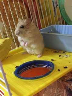 Silly girl always stands up like this when I'm playing with her #aww #Cutehamsters #hamster #hamstersofpinterest #boopthesnoot #cuddle #fluffy #animals #aww #socute #derp #cute #bestfriend #itssofluffy #rodents