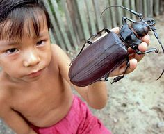 Some of the Worlds Biggest Bugs   Titan Beetle: French Guiana and Brazil