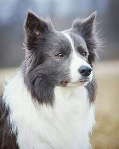 Border Collie bleu