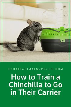 Take the stress out of going to the vet by training your chinchilla to go into their carrier. It takes time and practice, but is easier than chasing your chinchilla around the room and stressing them out. Guinea Pig Toys, Guinea Pig Care, Guinea Pigs, Reptile Cage, Reptile Enclosure, House Rabbit, Chinchillas, Horse Care, Exotic Pets