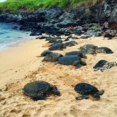 "Mile marker 8.8 - Honu sea turtles at Ho'okipa Beach...one of their rare ""resting grounds"" where turtles show up like clock work every afternoon."