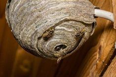 Wasps find protected dry wood a good place to nest, but they can be deterred with household cleaner sprays. This page is about how to prevent wasps from building a nest. Diy Home Cleaning, Household Cleaning Tips, Toilet Cleaning, Household Cleaners, House Cleaning Tips, Cleaning Hacks, Used Tools, Cool Tools, Clean Tv Screen