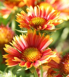 Blanket flower is counted as one of the top 10 perennials to have in your landscape...